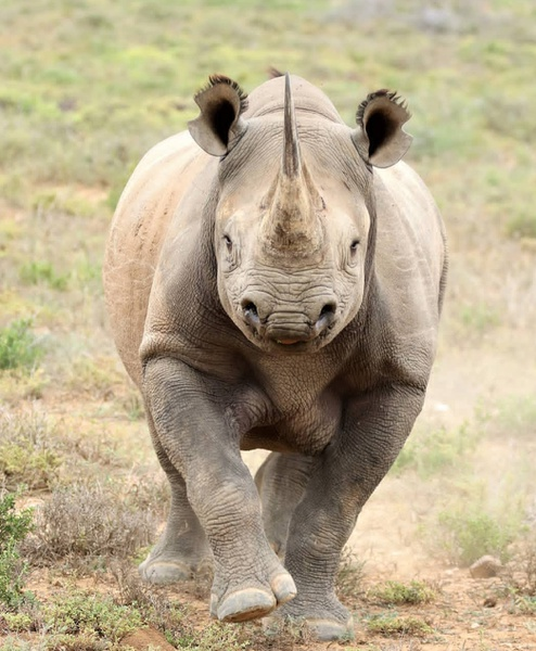 Black rhino picture