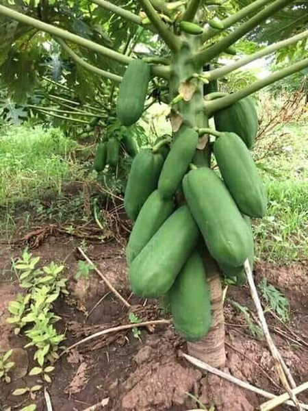 Nutritional value of papaya picture