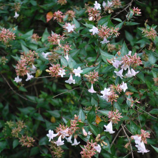 Abelia grandiflora picture