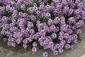 Alyssum chrystal lavender picture