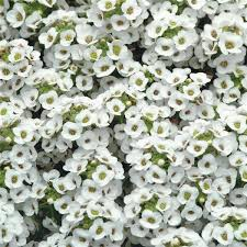 Alyssum crystal white picture