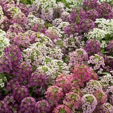 Alyssum wonderland mix picture
