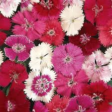 Dianthus ideal select mix picture