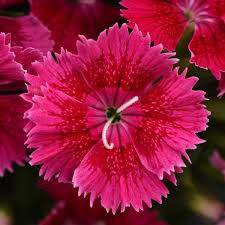 Dianthus ideal rose picture