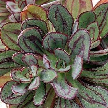 Echeveria nodulosa picture