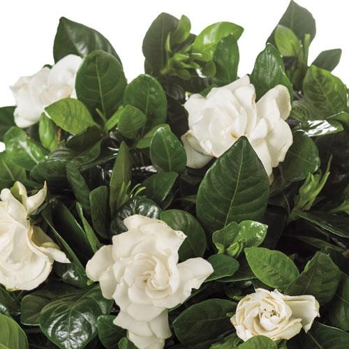 Gardenia balmont picture