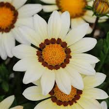 Gazania new day white picture