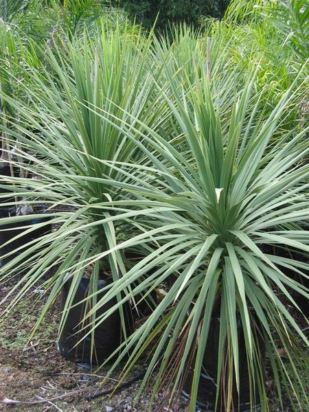 Cordyline australis picture