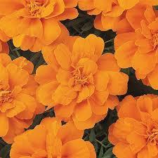 Marigold durango orange picture