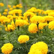 Marigold lemon drops picture
