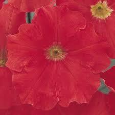 Petunia carpet bright red picture