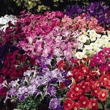 Petunia carpet mix picture
