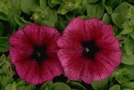 Petunia carpet plum picture