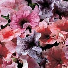 Petunia daddy mix picture
