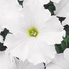 Petunia dream white picture