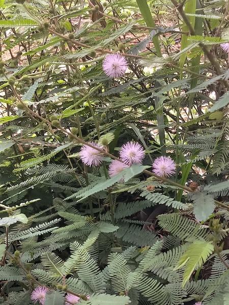 Kruikie-roer-nie (mimosa pudica) picture
