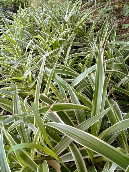 Hen and chickens (chlorophytum comosum) picture