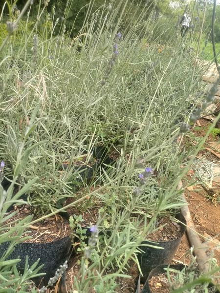 Margaret roberts lavender (lavendula x intermedia) picture
