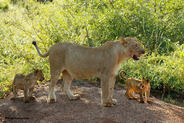 Lion with cubs picture