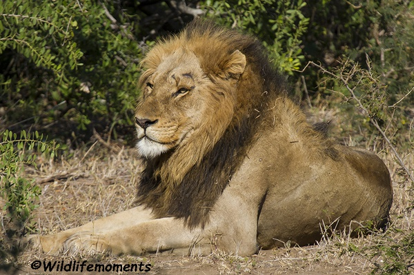 Lion king of the bushveld 2 picture