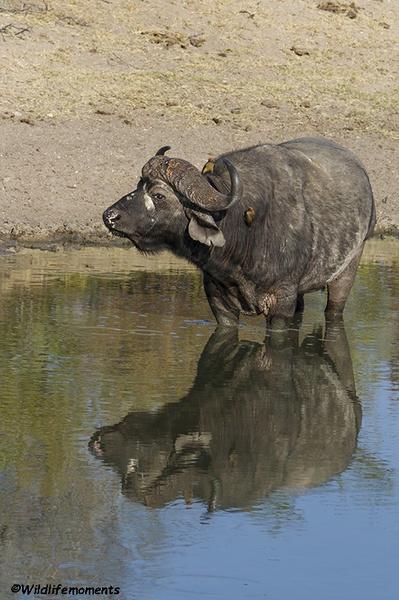 Buffalo reflection picture