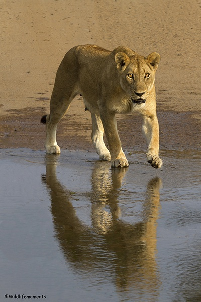 Lion reflection picture