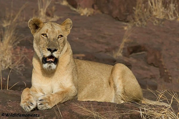 Big lioness picture