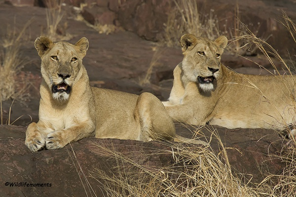 Lion siters picture