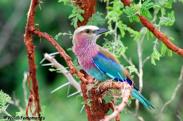 Lilac-breasted roller picture