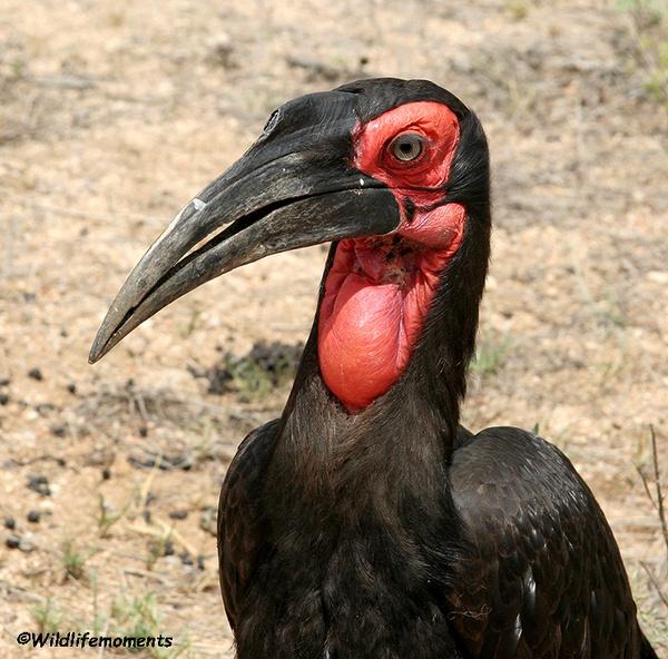 Ground-hornbill picture