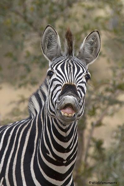 Smiling zebra picture