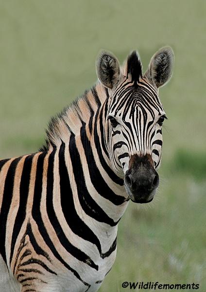 Double striped zebra picture