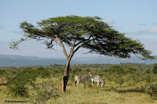Two zebra's with tree picture