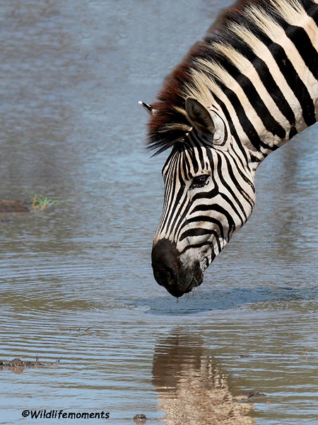 Zebra drinking water picture