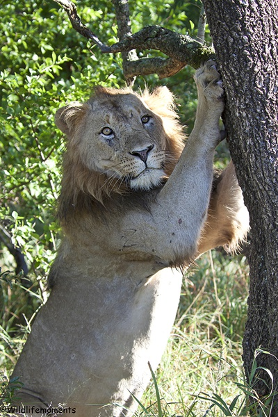 Lion sharpening nails picture