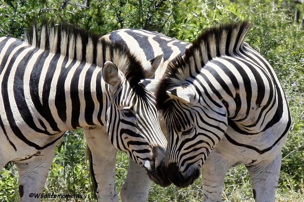 Zebra's kissing picture