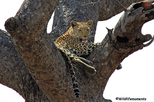 Leopard resting in tree picture
