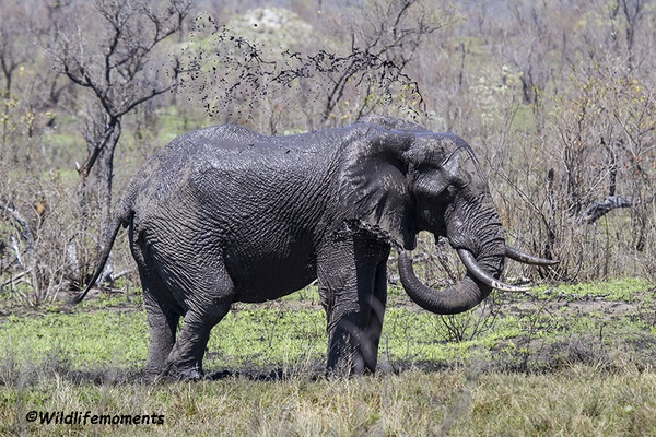Young elephant playing in the mud picture