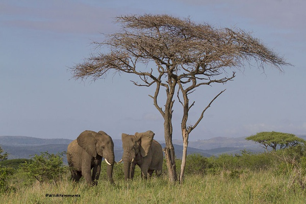 Two elephants with tree picture