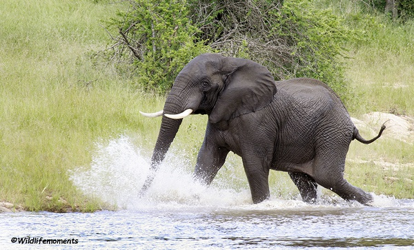 Elephant running in water picture