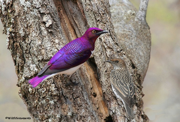Violet-backed starling male and female picture