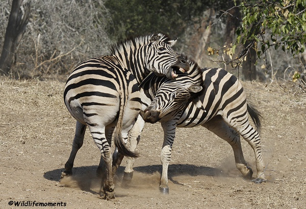 Zebra's in action 1 picture