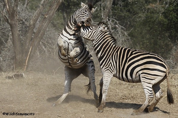 Zebra's in action 2 picture