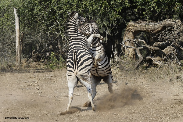 Zebra's in action 3 picture