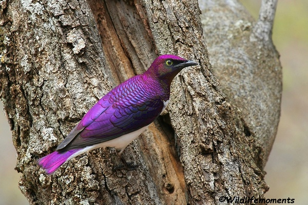 Violet-backed starling male picture