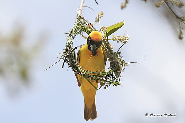 Masked weaver picture