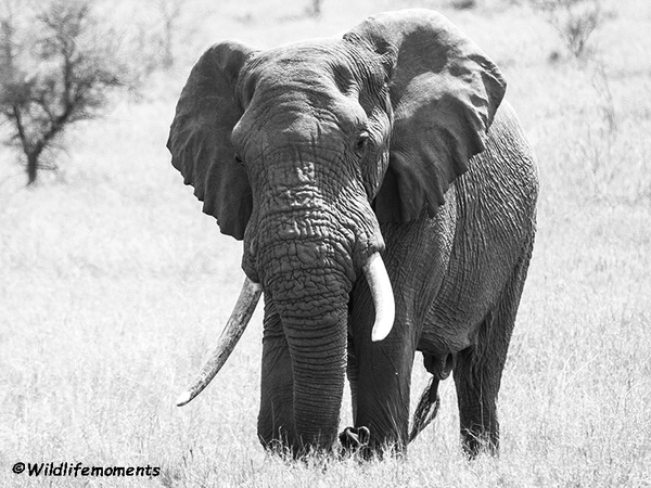 Big elephant black and white picture