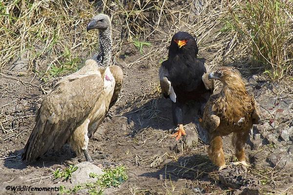 Cape vulture, bateleur and tawny eagle. unique congregation. picture