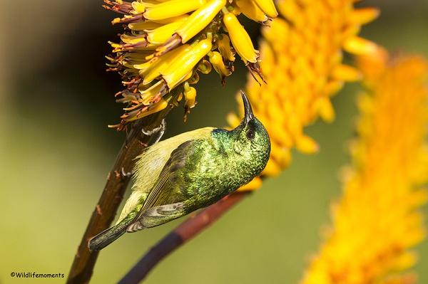 Collared sunbird picture