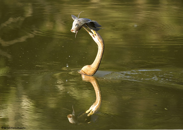 African darter picture